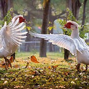 Goose Confrontation