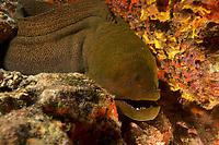 Giant Moray (Gymnothorax javanicus)<br /><br />Canales de Afuera Island<br />Coiba National Park, Panama<br />Tropical Eastern Pacific Ocean<br /><br />Manta Channel Dive Site