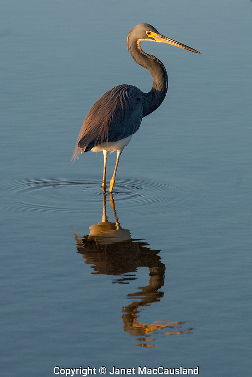 An elegant Tri-colored Egret stands in it's own reflection, a picture of blue on blue.