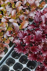 Lettuce 'Rubane' and 'Rosemoor' sown in module trays