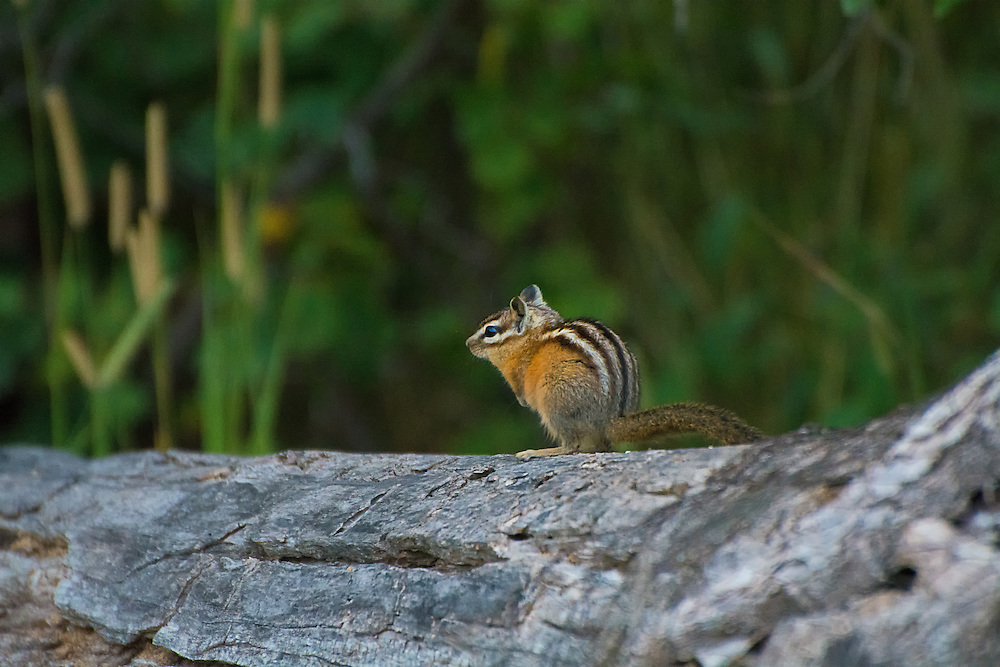 If this little chipmunk looks wary, it is for good reason. It was being actively hunted by a short-tailed weasel (stoat) at the edge of Lower Waterton Lake in southern Alberta's Canadian Rocky Mountains.