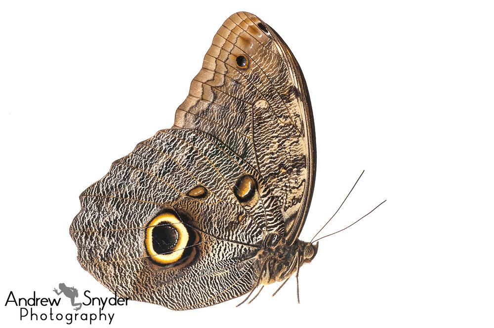 Owl Butterfly, Caligo telamonius, Kanuku Mountains, Guyana, July 2013