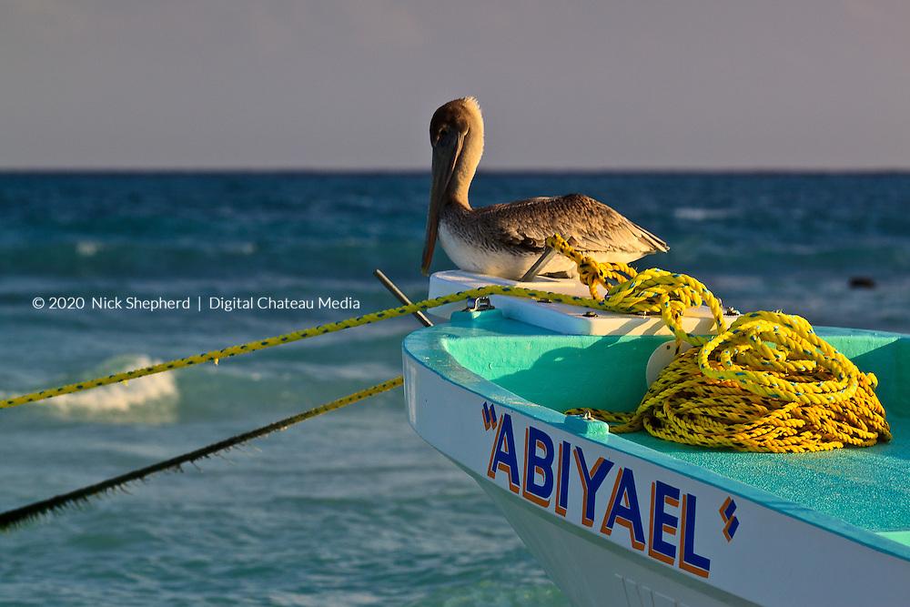 Brown Pelican on a blue boat in Playa del Carmen, Quintana Roo, Yucatan, Mexico.