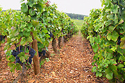 pinot noir sandy gravelly soil vineyard le corton vyd aloxe-corton cote de beaune burgundy france