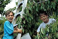Eating and picking cherries near Ukiah, CA.  Model released.  CD scan from 35mm slide film  © John Birchard
