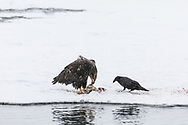 Common Raven (Corvus corax) patiently waits for the right moment to steal some salmon from the juvenile Bald Eagle (Haliaeetus leucocephalus) along the Chilkat River in Southeast Alaska. Winter. Morning.