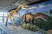 """Displayed at Quarry Exhibit Hall in Dinosaur National Monument, this Allosaurus fragilis skeleton is cast from bones of the Jurassic Period (149 million years ago) dug from the Cleveland-Lloyed Quarry in east-central Utah, USA. Allosaurus was the most common predatory animal in the Morrison Formation's ancient ecosystem. The theropod (meaning """"beast-footed"""") dinosaurs are a diverse group of bipedal saurischian (""""lizard-hipped"""") dinosaurs. Therapods include the largest carnivores ever to have walked the earth. Not all dinosaurs are extinct, since birds are actually the descendants of small nonflying theropods."""