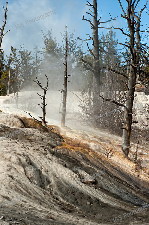 Dead trees atop Canary Spring, Mammoth Hot Springs, Yellowstone National Park