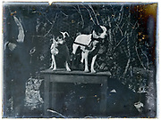 two smooth fox terrier posing on a 1900s glass plate