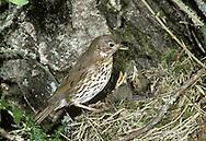 Song Thrush Turdus philomelos L 23cm. Dainty, well-marked thrush with a beautiful, distinctive song. Sexes are similar. Adult has warm brown upperparts with hint of orange-buff wingbar. Underparts are pale but well marked with dark spots; note yellowish buff wash to breast. In flight, reveals orange-buff underwing coverts. Juvenile is similar but markings and colours are less intense. Voice Utters a thin tik call in flight. Song is loud and musical; phrases are repeated two or three times. Status Fairly common but declining resident of woodland, parks and mature gardens. Numbers boosted in winter by migrants from mainland Europe.