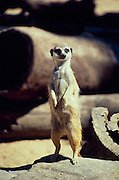 meerkat - keeping lookout (captive) <br />
