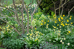 Spring border of erythroniums and narcissus