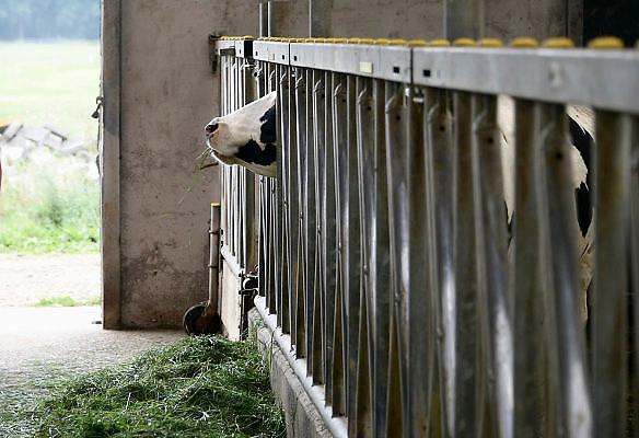 Nederland, Horssen, 11-8-2013Een koe, melkkoe, eet gras in de stal.Foto: Flip Franssen/Hollandse Hoogte