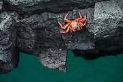 Sally Lightfoot Crab (Grapsus grapsus)<br /> GALAPAGOS ISLANDS,<br /> Ecuador, South America