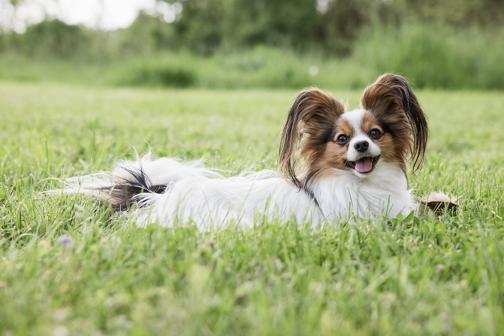Papillon laying in the grass.