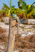 Calotes mystaceus, the Indo-Chinese forest lizard or blue crested lizard, is an agamid lizard found in China, South Asia and Southeast Asia. Photographed in Thailand in December