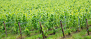 Chardonnay grapevines at Champagne Taittinger vineyard near Epernay in Champagne-Ardenne, France