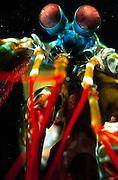 Bunter Fangschreckenkrebs (Odontodactylus scyllarus) | Peacock mantis shrimp large male