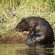 North American beaver (Castor canadensis) rubbing oil glands while grooming. Island lake, Minnesota