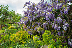 Thought to be the longest single vine in the UK, Wisteria blooms at Wickham Park Farm, Essex. No longer open to the public, the spectacular gardens are the work of dedicated gardener Judith Wilson, who has tended her wisteria and encouraged its growth for over thirty years. May 13 2018.