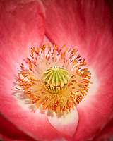 Pink Poppy Flower. Image taken with a Nikon D850 camera and 105 mm f/2.8 VR macro lens + 2.0 TC-E