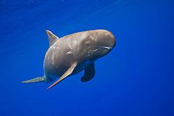 pygmy killer whale, Feresa attenuata, scout with many scars, Kona Coast, Big Island, Hawaii, Pacific Ocean