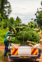 A pickup truck loaded with bananas, Haut-Uele, Orientale Province, Uganda. Uganda is a major producer of bananas.