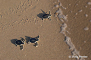 Australian flatback sea turtle hatchlings, Natator depressus, crawl down nesting beach to ocean, Kerr Island, Torres Strait, Queensland, Australia