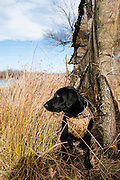 Two year old female black lab waits at duck blind for hunters to reposition decoys.