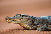Spectacled Caiman (Caiman crocodilus)<br /> Rain Forest<br /> Iwokrama Reserve<br /> GUYANA<br /> South America<br /> RANGE: Central & South America