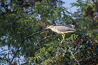 The black-crowned night heron (Nycticorax nycticorax), commonly abbreviated to just night heron in Eurasia.