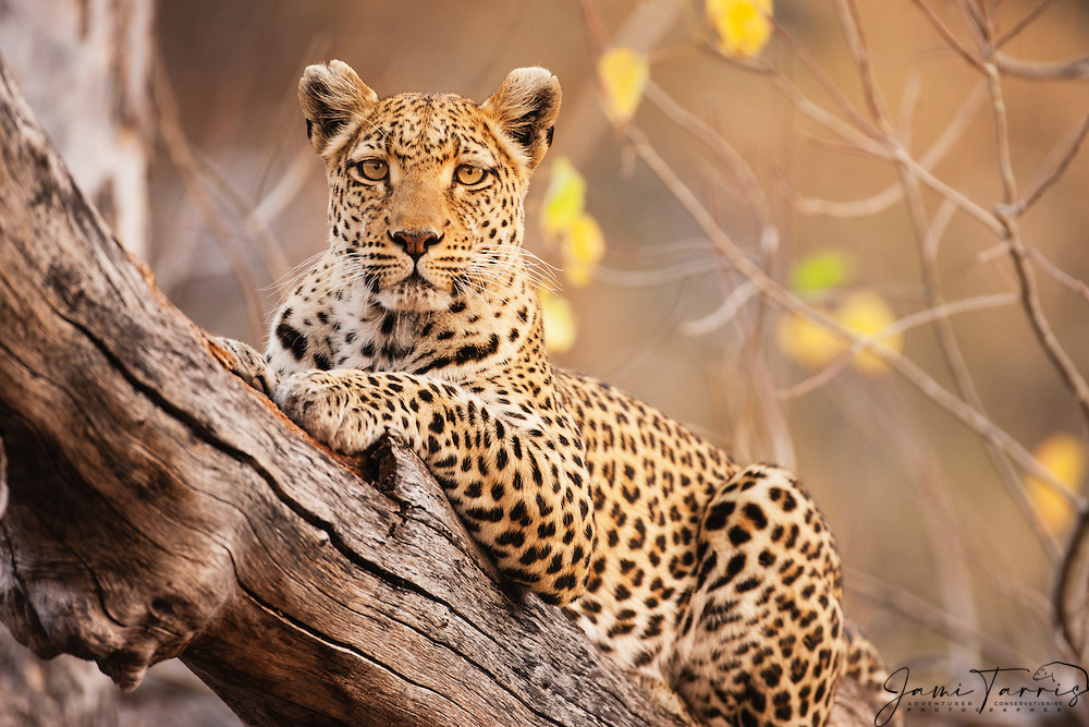 A portrait of a leopard resting in a tree (Panthera pardus), Moremi Game Reserve, Botswana, Africa