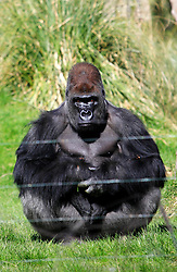 © Licensed to London News Pictures 02/05/2013.Kumbuka, a new male arrival to ZSL London Zoo from Paignton Zoo in Devon, sits in his enclosure. He is a 15 year old western lowland gorilla who weighs a hefty 29 stone (185 kgs)..London, UK.Photo: Anna Branthwaite/LNP