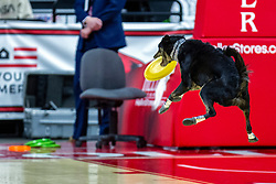 NORMAL, IL - February 07: rescue dogs give a frisbee performance during a college women's basketball game between the ISU Redbirds and the Braves of Bradley University February 07 2020 at Redbird Arena in Normal, IL. (Photo by Alan Look)