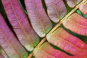 Detail of variegated red and green leaf in Mesilau Nature Resort, Kinabalu National Park, Sabah