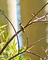 Rufous Hummingbird (Selasphorus rufus). Lundy Lake, California. Image taken with a Nikon D3s camera and 80-400 mm VR lens.