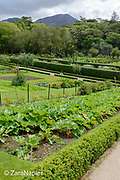 Kitchen Garden area (14 on map) with Rhubarb, Calendula – pot marigolds, Brassica oleracea 'Red Drumhead' - Red Cabbage and Lathyrus – Sweet peas on woven wigwams in The Victorian Walled Garden at Kylemore Abbey. Only plants and flowers that were introduced to Ireland before 1901 are used in the gardens. The 6 acre garden is to the west of the Abbey originally known as a castle when it was built by Mitchell and Margaret Henry in the 1850's. The garden is on a south slope at the foot of Duchruach Mountain and facing Diamond Hill. It was chosen as the warmest and brightest spot on the estate with a mountain stream providing water. It is now a Benedictine community; open seven days a week all year round. The Abbey is located in Connemara in the west of Ireland. August