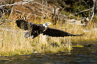 Bald eagle along Chilko Lake, BC, Canada.