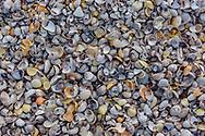 Seashells, Cedar Beach County Park, Southold, NY