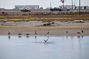 Birds stay on the shoreline away from the oil slick in the Talbert Marsh, excpet for one bird who flaps his wings in an effort to remove oil. An estimated 127,000 gallons of crude oil leaked from an oil derrick pipeline in the Catalina Channel. The oil spread to nearby Huntington Beach beaches and wetlands, and quickly prompted cleanup crews to the scene. Orange County, California, USA