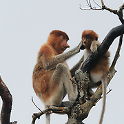 Proboscis monkey (Nasalis larvatus) mother grooming baby.  Sekonyer river, Tanjung Puting National Park. Borneo