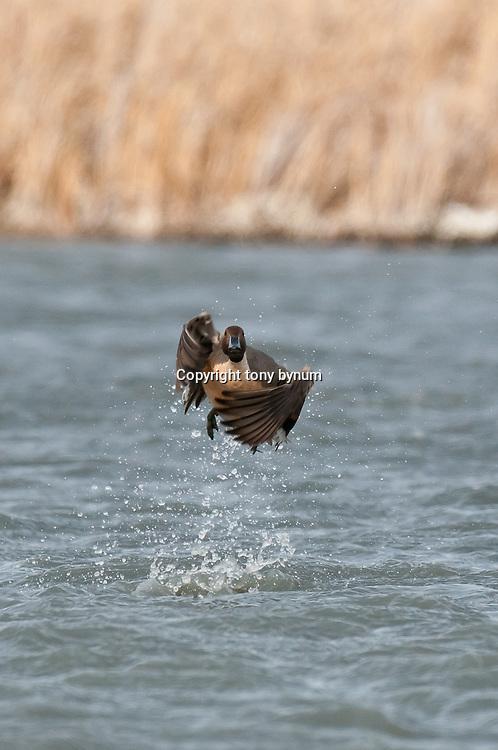 pintail drake taking off over water