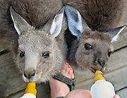 """Baby kangaroos suckle milk from nippled bottles at Emu Park Holiday Park, in the beautiful Wartook Valley, in the Northern Grampians region, Victoria, Australia. Published in """"Light Travel: Photography on the Go"""" book by Tom Dempsey 2009, 2010."""