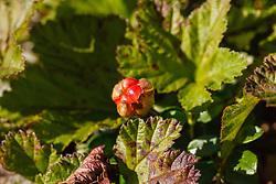 Kruipbraam, Rubus chamaemorus