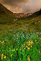 Wildflowers, American Basin, San Juan Mountains (range of the Rocky Mountains), Southwest Colorado USA