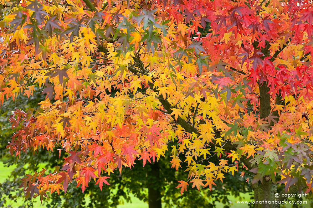 Liquidambar styraciflua 'Worplesdon' - Sweet gum - in autumn colour