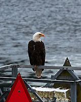 Bald Eagle (Haliaeetus leucocephalus). Viewed from the deck of the MV Columbia. Alaska Marine Highway, Inside Passage, Wrangell Narrows. Image taken with a Nikon D3x camera and 70-300 mm VR lens.