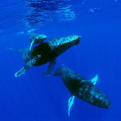 Humpback Whales, mother, calf, and escort, Megaptera novaeangliae, Hawaii, Pacific Ocean