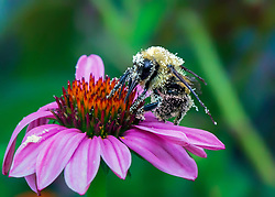 A bee gathers pollen on a large scale