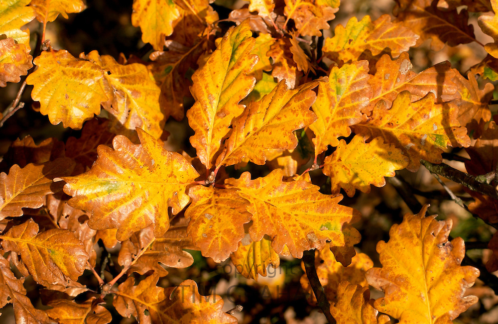 Oak leaves during autumn in Oxfordshire, England